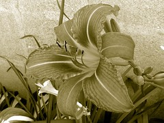 First Wild Orange Daylily Of 2010 Duotone 004 (Chrisser) Tags: flowers summer ontario canada nature photoshop garden gardening fourseasons duotone closeups daylilies hemerocallis olympuscamediac765 hemocallidaceae