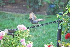 Wings (thoth1618) Tags: park bird brooklyn garden bbg brooklynbotanicgarden botanicgarden brooklynny graycatbird greycatbird dumetellacarolinensis brooklynusa dumetella memberssummerevening bbgmemberssummerevening brooklynbotanicgardenmemberssummerevening