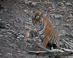 Time to move on (www.sandeepmall.com) Tags: india wildlife tigress rajasthan ranthambore canoneos50d royalbengaltiger thebigkitty tigersofindia sigma150500 sandeepmall sandsminoo