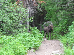 Moose on the Trail Photo