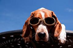 Doggles (Paguma / Darren) Tags: dog goggles hound floyd doggles tamronspaf1750mmf28xrdiiildasphericalif