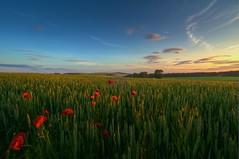 Summer Evening In The East Neuk of Fife (bermrunner) Tags: sunset evening countryside twilight fife farm wheat crop poppy elie cerial