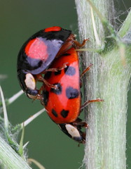 what will they look like? (bugman11) Tags: macro nature animals fauna canon bug insect beetle nederland thenetherlands insects bugs ladybug ladybugs beetles greatphotographers platinumheartaward beautifulmonsters platinumpeaceaward 100mm28lmacro ringexcellence