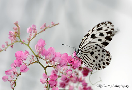 Ideopsis gaura perakana (Smaller Wood Nymph)-1