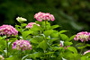Flower, Hydrangea (nekonomania) Tags: red hydrangea アジサイ multicolor reddishpurple kyotobotanicalgarden 京都府立植物園