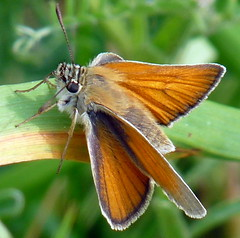 Thymelicus lineola  /  Schwarzkolbiger Braun-Dickkopffalter (@ulli0703) Tags: summer orange green butterfly sommer natur july happybirthday juli grün falter