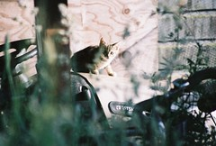 Curious Feral Kitten (Chriss Pagani) Tags: film nature analog kitten farm tabby fujifilm curious staring curiosity feral moggie superia1600 barncats
