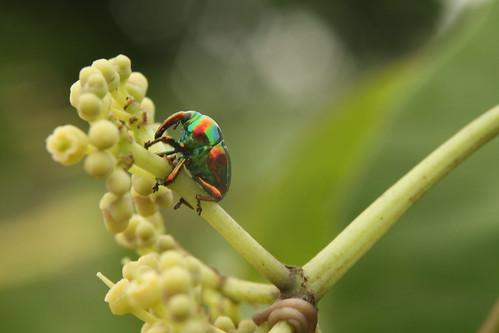 Eurhinus magnificus - Gyllenhal - Weevil