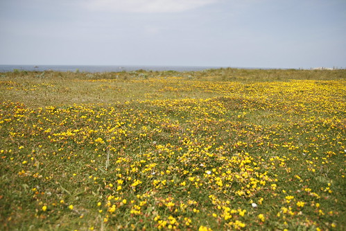Field of golden flowers! 2