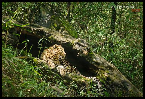 Leopard @ Taman Safari