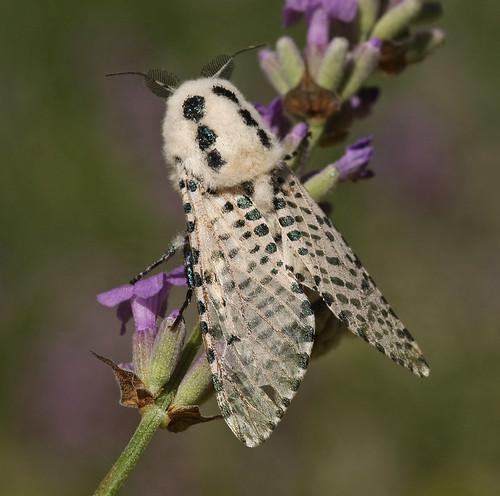 Garden mothing 2010 #24, 2 July