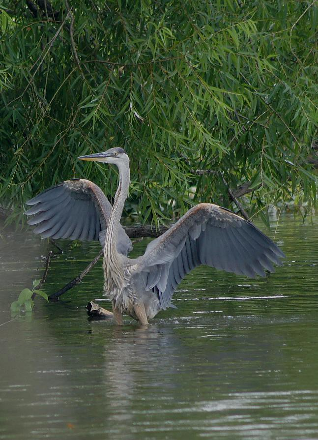 "Tippi  Heron....finishing  her  flight ...""Bird Watcher"" !"