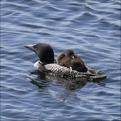 """""""Carry me home"""" (NaPix -- (Time out)) Tags: family lake canada reflection nature swim parents wildlife mother loons greatnortherndiver napix greatnorthernloon"""