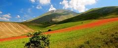 The blood of the earth (filippo rome) Tags: italy colors italia poppies fields umbria papaveri castelluccio vettore montevettore
