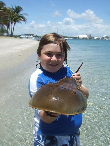 Nice horseshoe crab Max