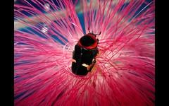 Glycyphana horsfeldii (Mashku) Tags: insects beetles coleoptera scarabeidae cetoniidae cetoniini cetoniine
