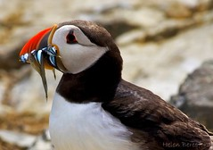 Puffin Profile (Helen Beresford) Tags: bird northumberland puffin nationaltrust farneislands seabird atlanticpuffin sandeels specanimal stapleisland