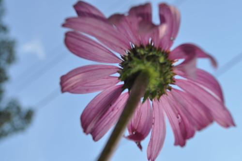 Purple daisy shot from below