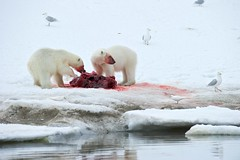 Norway_100625_3231 (KEENPRESS) Tags: red snow reflection ice norway horizontal mammal outdoors photography frozen blood day killing wildlife gulls nopeople polarbear deadanimal seal watersedge aquatic sideview spitsbergen dragging colorimage twoanimals animalthemes coldtemperature animalshunting svalbardislands