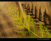 fern (chun @ beijing) Tags: light shadow plant fern sunshine shade olympuspen ep1