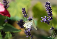 Großer Kohlweißling / Large White (4) (Ellenore56) Tags: life light summer white inspiration color colour nature animal butterfly garden insect licht loop sommer sony natur lavender july philosophy cycle physics environment imagination mathematics juli alpha economic creature magical farbe insekt garten chaostheory leben tier ecological umwelt lavendel largewhite butterflyeffect pierisbrassicae lebewesen disambiguation turbulenzen kohlweisling schmetterlingseffekt chaostheorie groserkohlweisling dslra350 sonyalphadslra350 philosofi ellenore56 13072010 dynamicl