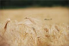 Version or (Alicia Petiot) Tags: naturaleza france nature wheat grain champs campo fields trigo blés