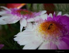 Muchas flowers (capreoara) Tags: summer flower macro up field june fun nikon dof close july romania depth 2010 oradea d3000