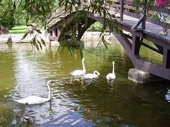 stratford swans 039