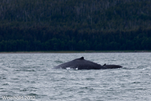 Humpback Cow and Calf