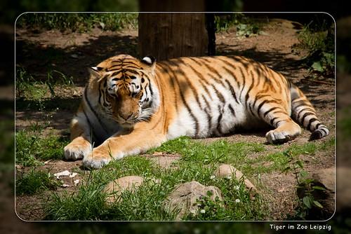 Tiger im Zoo Leipzig