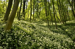 Tom wood (Keartona) Tags: wood uk trees wild england sunlight green tom spring woods path garlic ash charlesworth ransoms