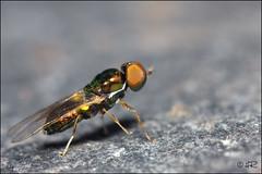 Stratiomyidae sp. (Haentjens Raphal - Macropixels) Tags: macro nature bug insect belgique bugs flies insecte diptera flie macrophotographie diptre dipterous