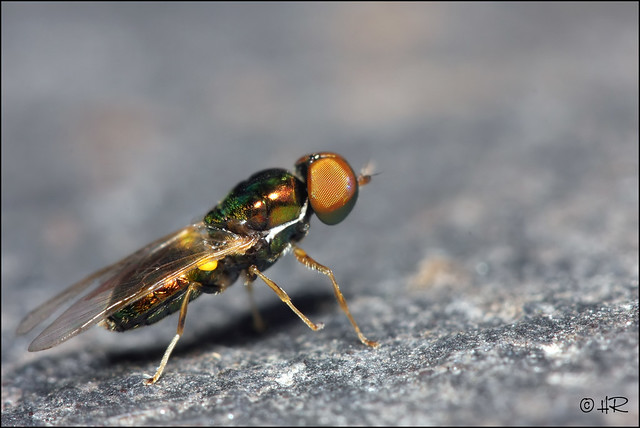 Stratiomyidae sp.