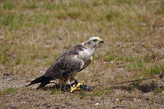 Saker Falcon (Jim Skovrider) Tags: bird nature animal denmark zoo nikon sigma falcon fugl danmark dyr falk d90 sakerfalcon falcocherrug nikonsigma nikond90 reepark sigmaphoto slagfalk apo150500mmf563dgoshsm 150500mmf563 150500mmf563apodgoshsm
