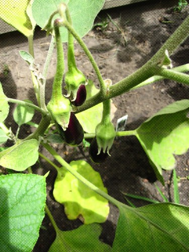 Eggplant Growing in the Garden