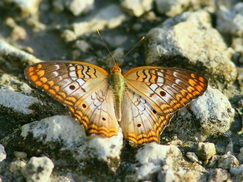 White Peacock 20100719