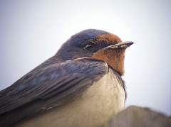 Swallow (1963chris) Tags: bird nature birds raw wildlife sony resting swallow britishwildlife avian britishbirds