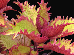 Colorful summer foliage (Laramie_Coyote) Tags: red color green nature leaves onblack potofgold lakefarmpark flickrbronze naturespotofgold printedalready pogchallengewinners multicolorleaves natureskingdom btglevel1