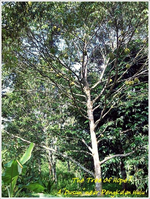 Durian Tree @ Pengkalan Hulu