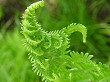 Photograph of a beautiful young fern that is unfolding