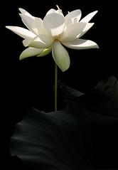 White Lotus Flower - IMG_2981-d-1000 (Bahman Farzad) Tags: white flower macro yoga peace lotus relaxing peaceful meditation therapy lotusflower lotuspetal lotuspetals lotusflowerpetals lotusflowerpetal