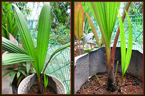 Cyrtostachys renda (Lipstick/Rajah Palm) had added 2 new leaves and 3 young shoots since last November. Shot 22 July 2010