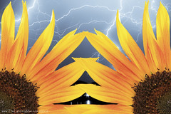 Two Sunflowers and a Lightning Storm (Striking Photography by Bo Insogna) Tags: sky nature rain weather clouds skyscape landscape photography landscapes wallart bluesky monsoon sunflowers lightning lightening striking storms stockimages lightningstrike thunderstorms lighning timedexposure lightningbolts lightningman strikingphotography cloudtocloudlightning boinsogna thelightningmancom strikingphotographycom thelightningman jamesinsogna strikingimages unusuallightning lightningboltpictures lightningboltmanart manlightning lightningphotographers sunflowerlightning