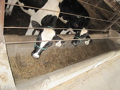 provimi 114 (Roth photos) Tags: feeders steers provimi 07152010 dietb