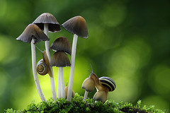 Exploring the Toadstools (Vie Lipowski) Tags: nature mushroom wildlife snail toadstool detritivore
