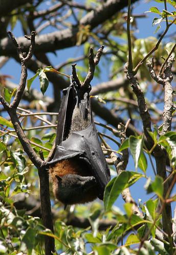 Flying Foxes, Sydney Botanical Garden