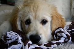 Alfie (3) (Shaleesa) Tags: dog brown macro goldenretriever puppy fur nose eyes fluffy ears tired paws puppydog canon1000d