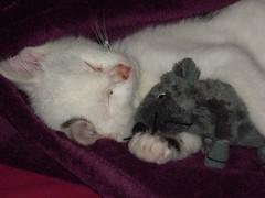 Igor with mouse (kuzco_cat) Tags: sleeping cute cat mouse klein kitten little plushie katze schlafen igor kater tomcat maus kuscheln squeezing ss