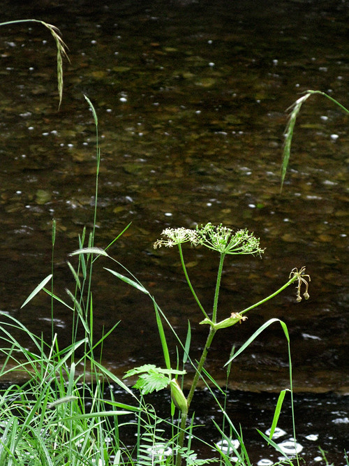 wild celery and more near Son-i-Hat Creek, Kasaan, Alaska