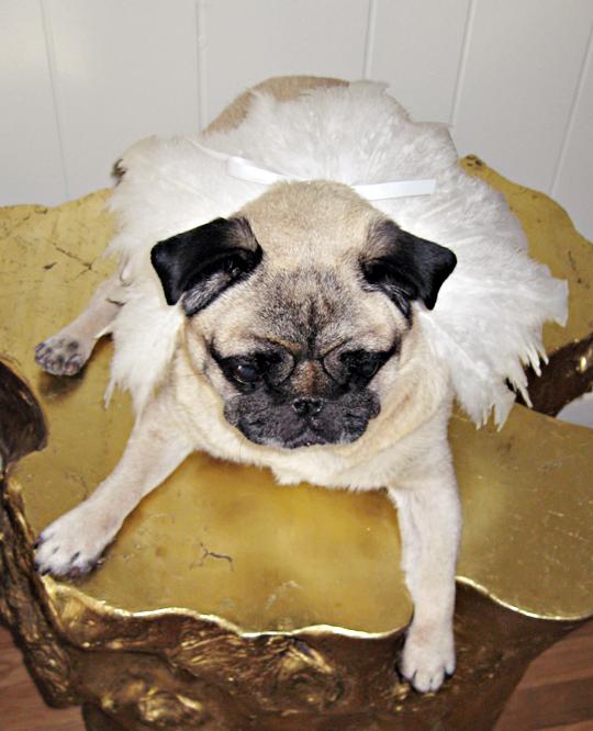 Pug+feathers costume